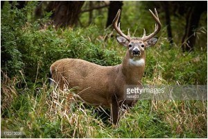What is the State Land mammal of Mississippi?