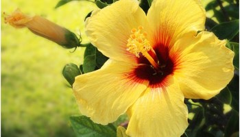What Is The State Flower Of Puerto Rico Whatsanswer