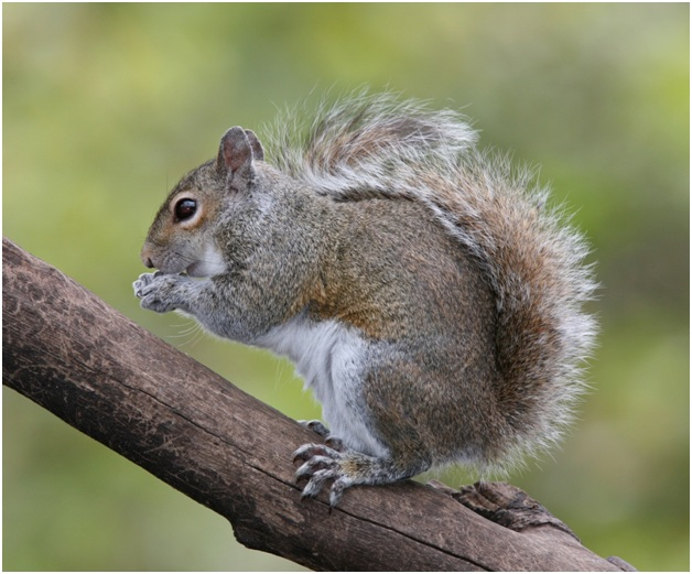 What is the State wild animal of Kentucky?