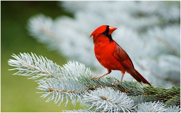 What is the Virginia State Bird?