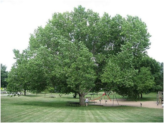 What Is The State Tree Of Kansas Whatsanswer