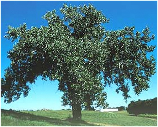 what Is The State Tree of Wyoming?