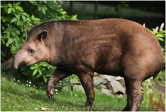 What is the National Animal of Belize?