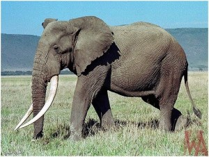 What is the National animal of Ivory Coast?