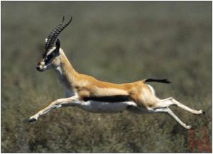 National Animal of Israel