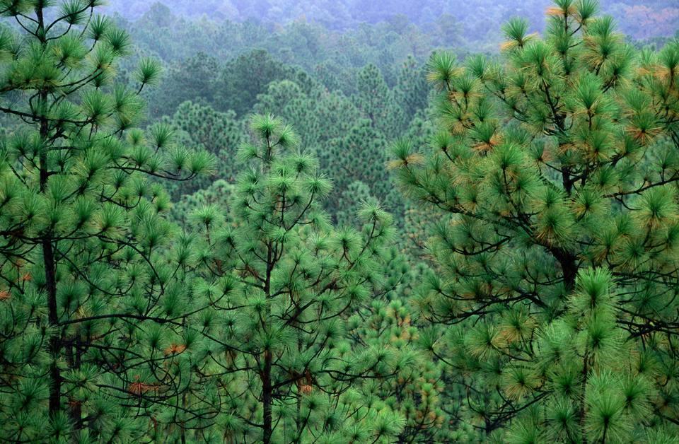 State Tree Of North Carolina