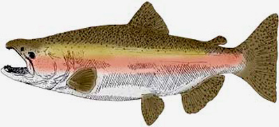 State Fish Of Oregon