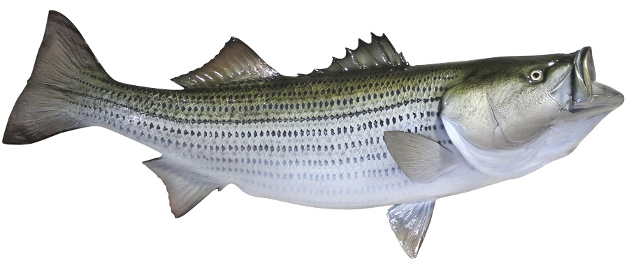 State Fish Of South Carolina