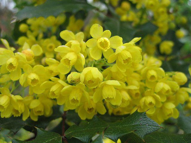 State Flower Of Oregon