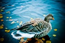 Hyde Park - Duck