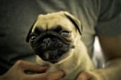Silly Face - Patsy Pug