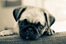 Aww Patsy The Pug
