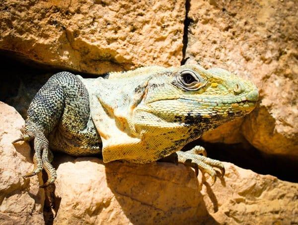 Iguana in crack