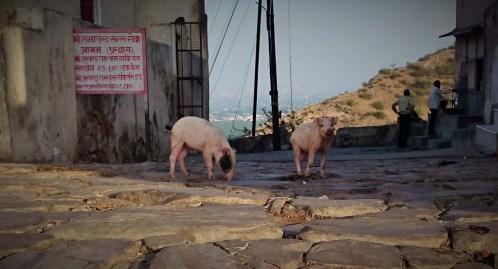 Happy Piglet! - Monkey Temple, Jaipur