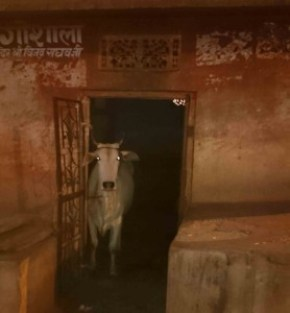 Cow in Doorway
