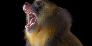 Monkey tooth discovered in Abu Dhabi