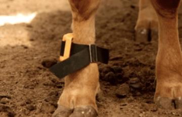 Cow Pedometer