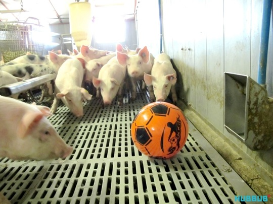 A playtest at a pig farm