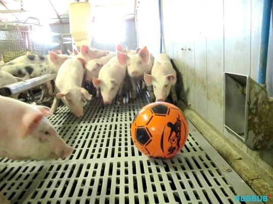 A playtest at a pig farm
