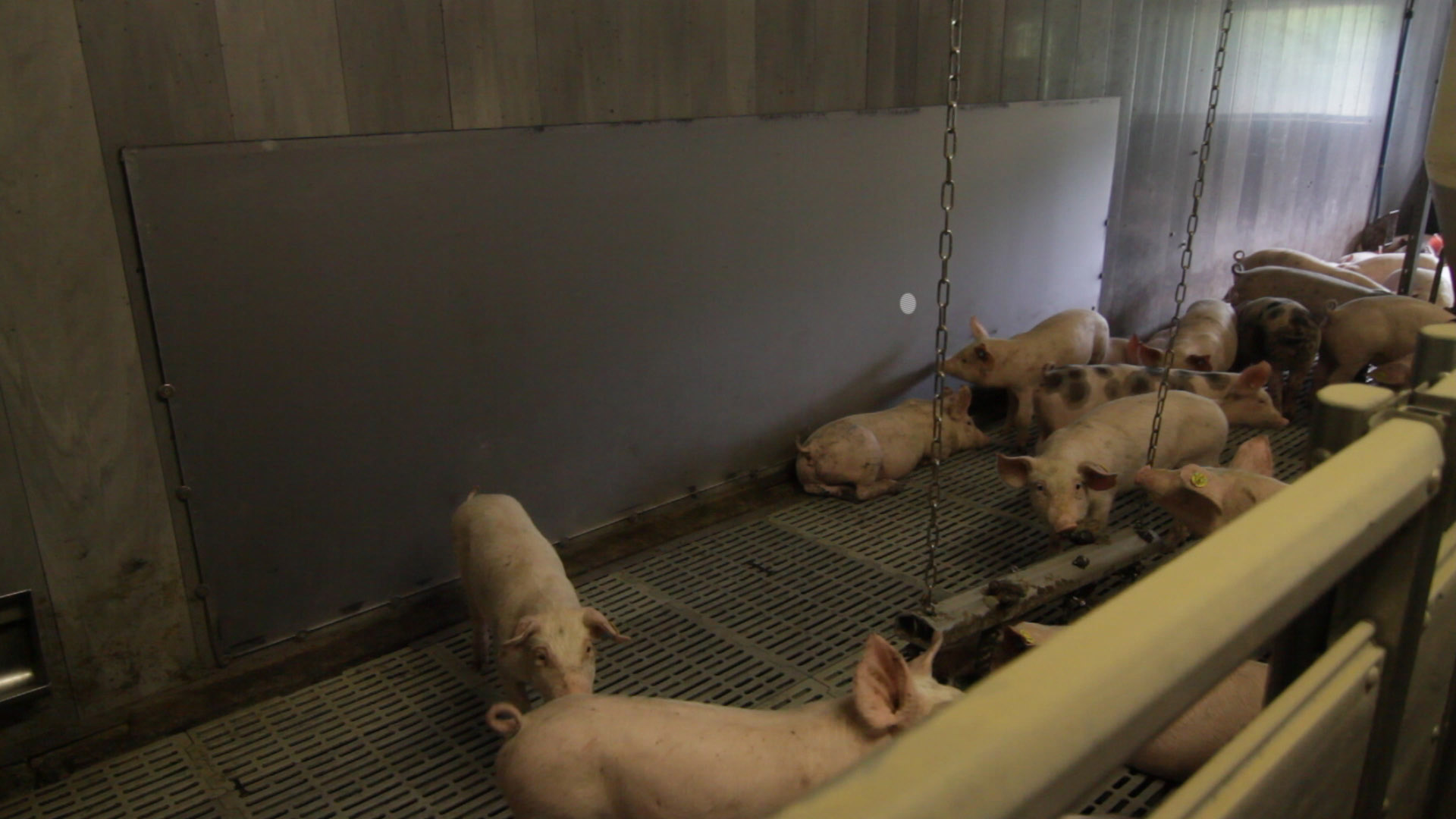 Pigs play with the help of a large touch sensitive display