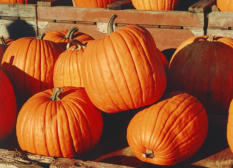 Pumpkin patch newport county
