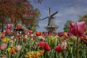Tulips in bloom, Holland