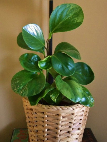 Peperomia obtusifolia, variegated Baby Rubber Plant, Indoor Plants