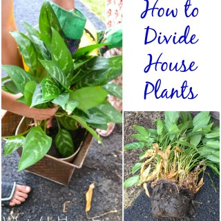 How to Divide House Plants