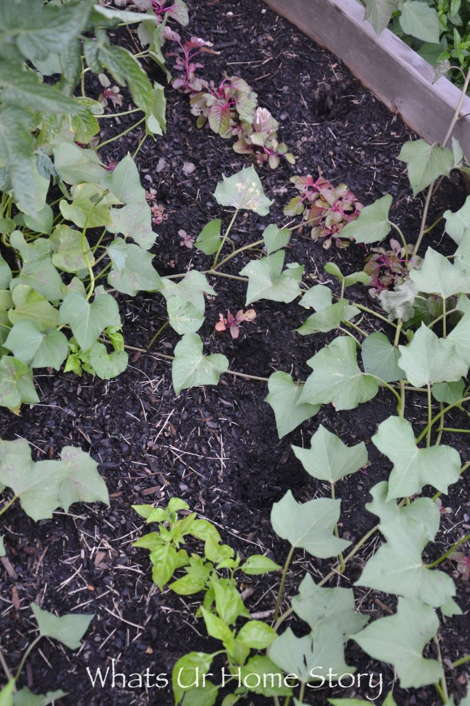 Vegetabe garden-0275