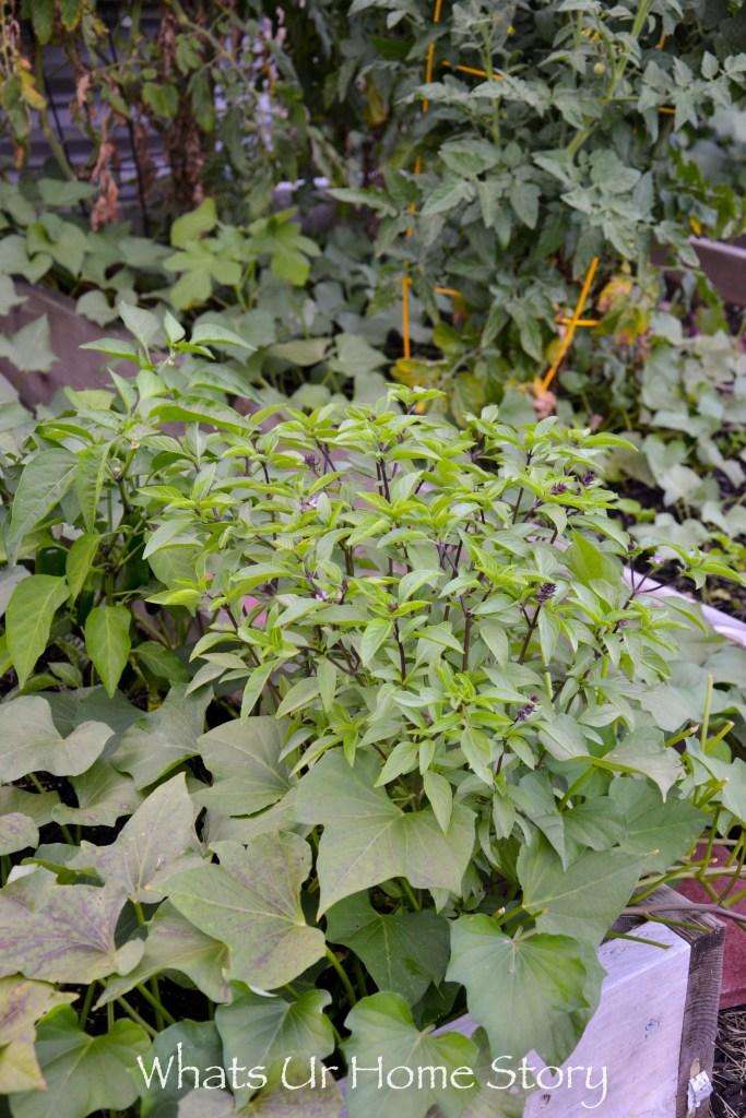 Vegetabe garden-Thai Basil