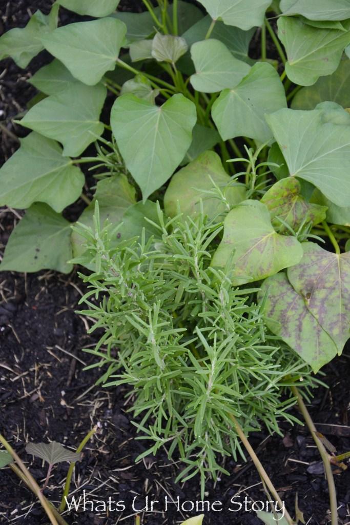 Vegetabe garden bed - rosemary
