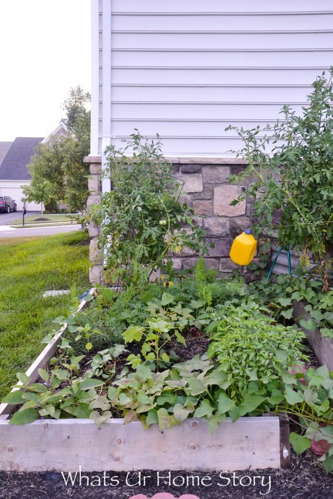 Vegetabe garden bed with mini egg plant, tomato, thai basil, sweet potato, okra, carrots