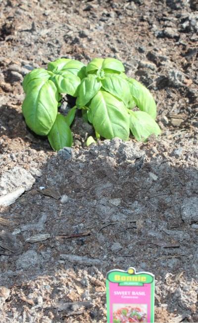 Easy Gardening Ideas- Basil