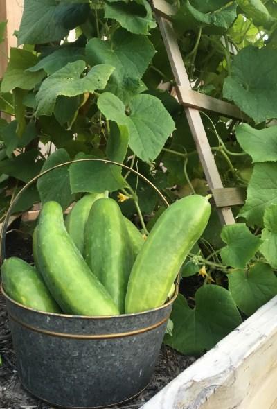Easy Garden Ideas- Cucumbers