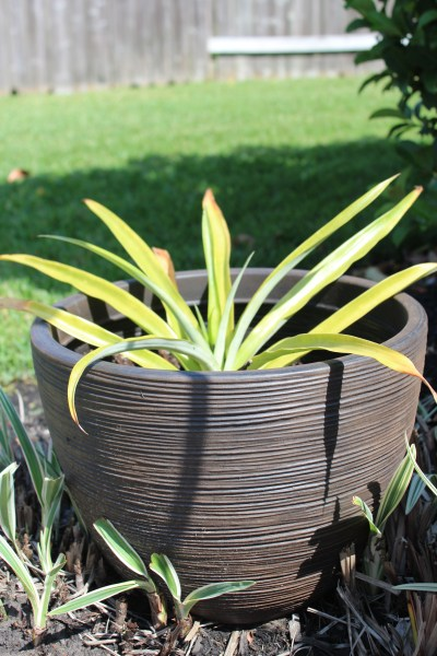 Pineapple - container gardening