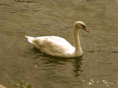 SwanSeine