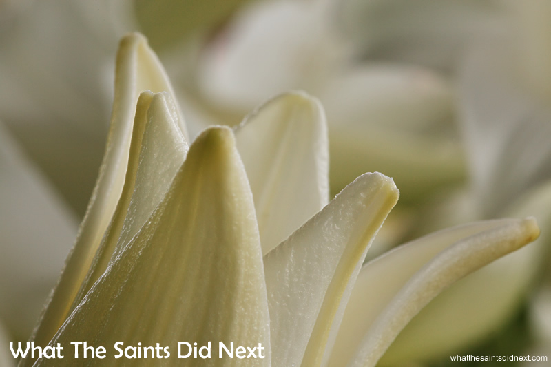 The smell of Christmas on St Helena. Christmas lilies are more widely known as Easter Lilies, Trumpet Lilies and White Heaven. On St Helena they are also called St John's Lilies. Reaching up to a metre tall, each leafy stem can yield clusters of up to nine buds and have a glorious spread of 30cm.