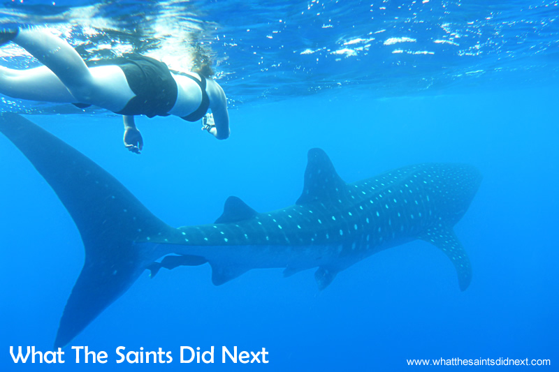 It's normally the tail fin that is seen breaking the surface. Swimming with whale sharks on St Helena.