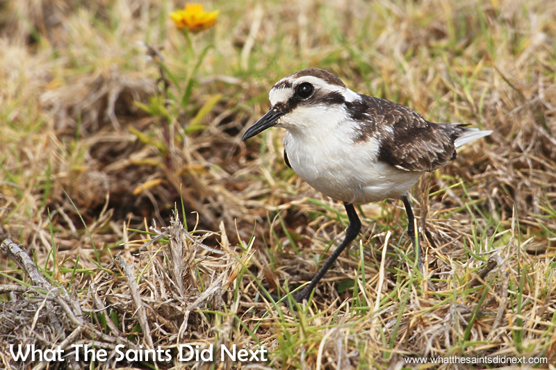 Deadwood Plain is one of the three core nesting sites on the island for the St Helena wirebird.