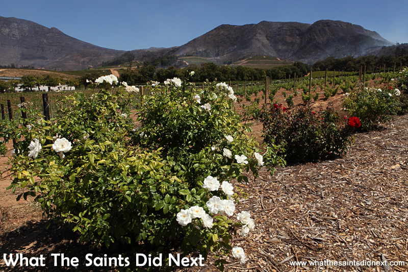 Constantia wine farms use rose bushes as early warning system against crop pests and diseases. Note the smoke in the distance from the wildfires.