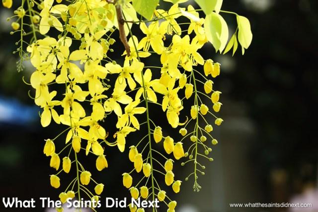 The Golden Shower Tree flowers.