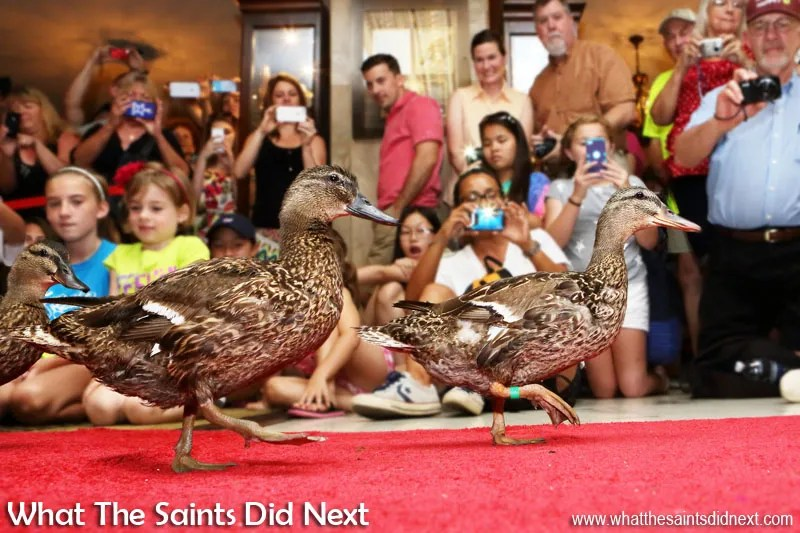 Marching Peabody Ducks in Memphis underway at the Peabody Hotel, in Memphis, Tennessee.