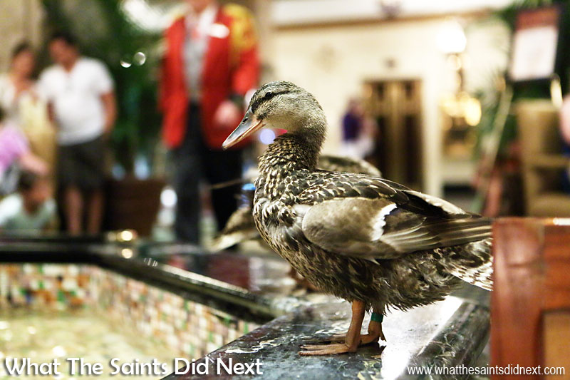 Peabody Hotel Memphis Ducks, completely at ease with all the people crowding around to take pictures.