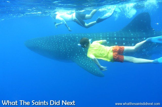 Things to do on St Helena - swimming with the St Helena whale sharks.