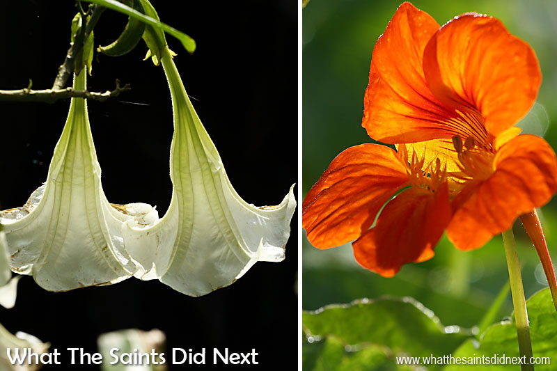 Sandy Bay is bursting with beautiful flowers of all colours. One of our favourites is the Datura Suavolens, more commonly known as Lady's Petticoat (left) which can be found in great numbers near St Peter's church.