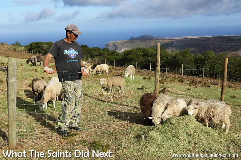 Sheep farmer, Mark Coleman, feeding his flock up on the slopes of Flagstaff. In the far distance St Helena's new aiport and runway is visible on Prosperous Bay Plain.
