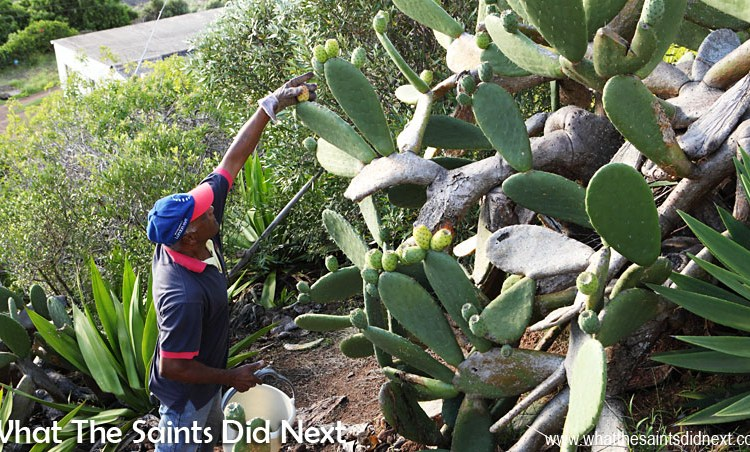How To Eat Prickly Pear Tungi, St Helena Style