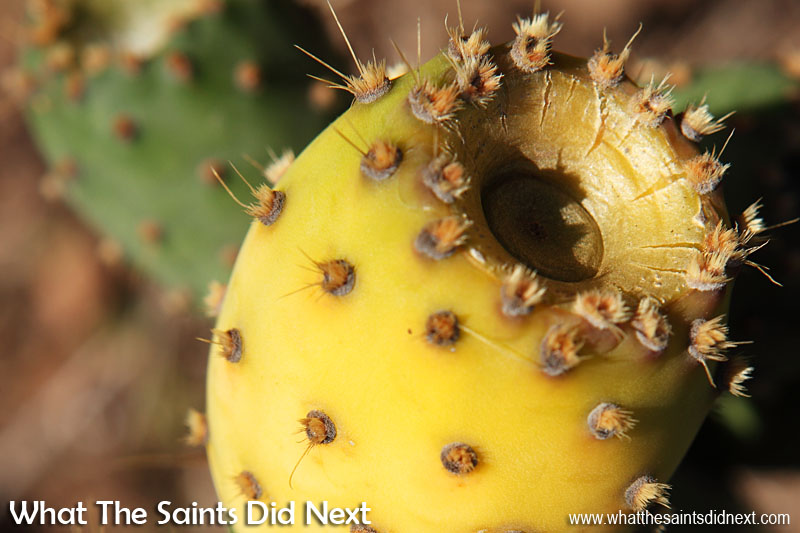 The small clumps of hairs (glochids) on the tungi are very irritable if they get in your skin, a bit like rubbing against fibre glass, but worse! This yellow colour indicates this fruit is very ripe and ready to eat.  How To Eat Prickly Pear Tungi.