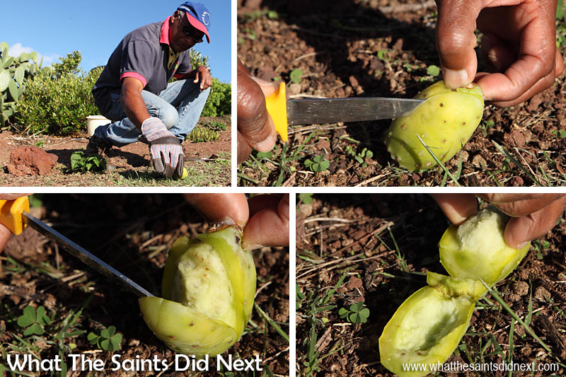 Pat demonstrating the process of 'cleaning' the hairs off the tungi by rubbing it on a tuft of grass, cutting it open and taking out the fruit inside. Youngsters from many years back on St Helena would often use a sharp edged stone to cut open the cactus fruit.  How To Eat Prickly Pear Tungi.