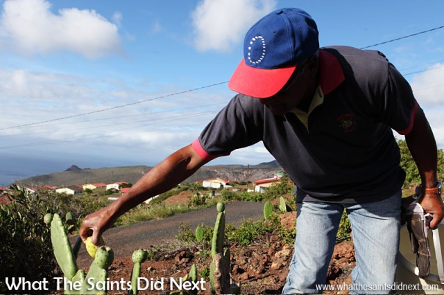 Pat showing how easy it is to avoid the prickles and hairs when taking a tungi fruit right off the bush. The houses of Half Tree Hollow can be seen below with the Atlantic Ocean off in the distance - a beautiful afternoon on St Helena.